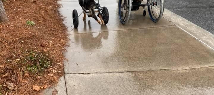 Paralyzed dog finds home with man