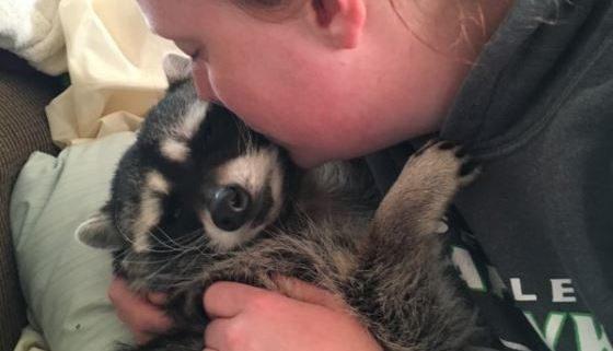 Pet raccoon