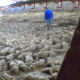 pigs culled in Iowa