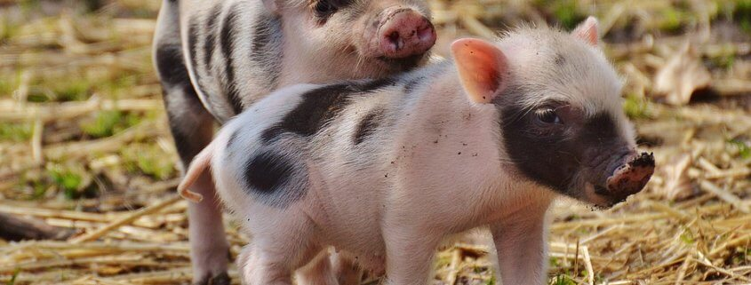 Pigs to be slaughtered