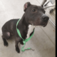 Pit bull found tied to a guardrail
