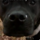 Pit bull saves elderly woman