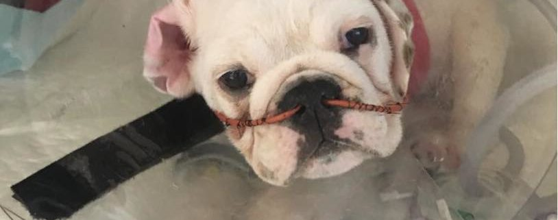 Poorly bred puppy died