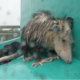 Drenched possum huddles in the rain