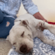Pregnant dog stabbed