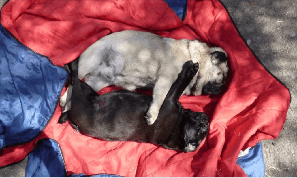 Couple who left pugs 'cook to death' in tent banned from ...