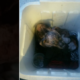 Puppy left to die in Styrofoam container