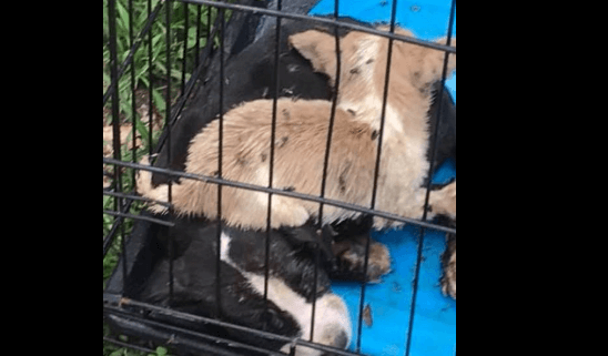 Report of puppies dead in crate