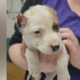 Puppy found with mutilated ears