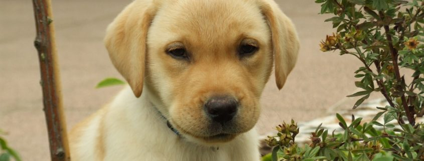 Puppy ingested opioid