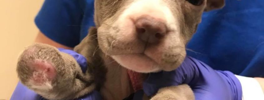 Puppy missing paws found abandoned in duffel bag