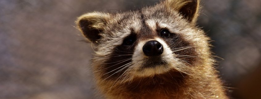 Six dogs to be euthanized after encounter with a rabid raccoon