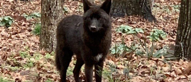 Rare coyote