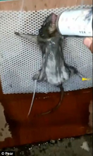Twisted man ties rat forcing it to drink alcohol before