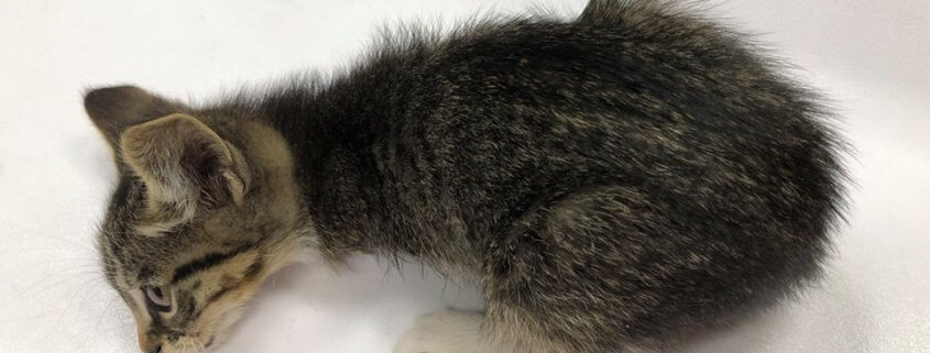 Reward for tortured kitten case