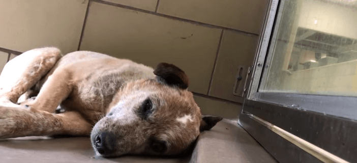 Senior dog shakes in kennel