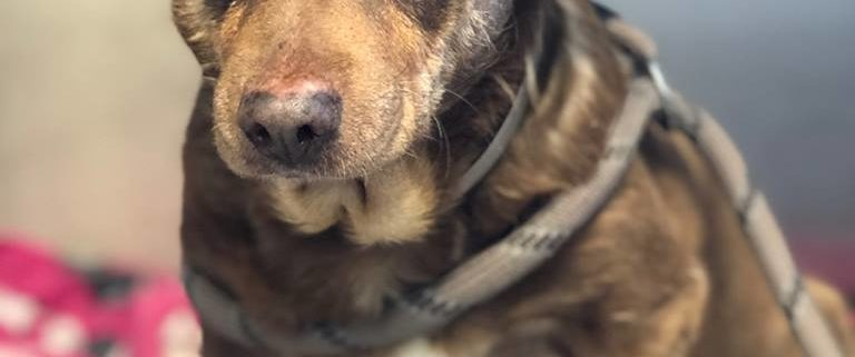Senior dog surrendered for being too old