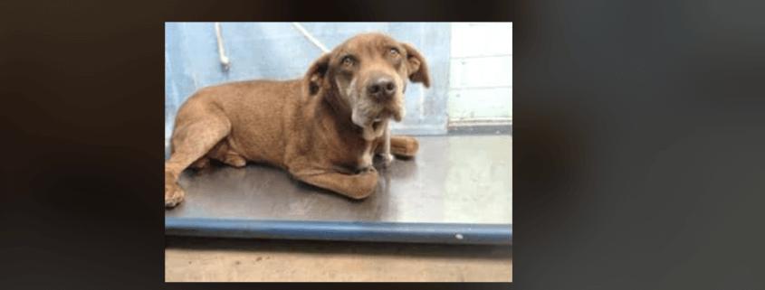 Senior Labrador retriever