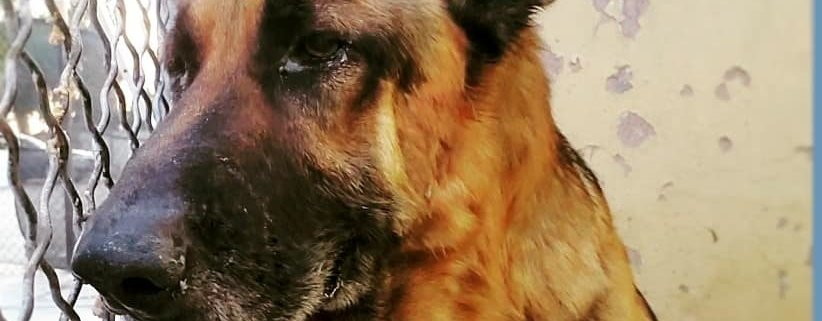 Senior shepherd desperately needs help