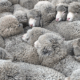 180 surviving sheep will be spared slaughter