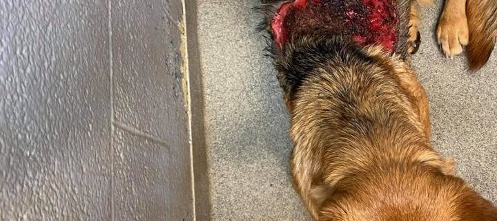 shepherd found with injury on back