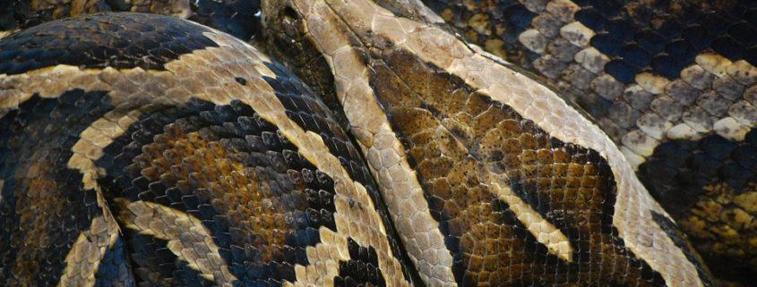 Man tackled huge python