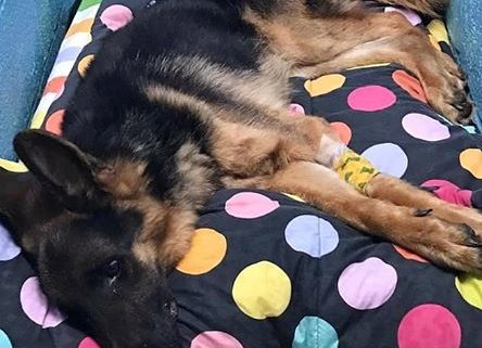 German shepherd has died after being abandoned