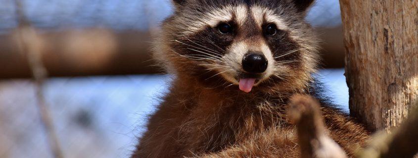Stoned raccoon taken to firefighters