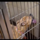 Stressed dog licking kennel walls