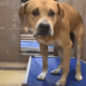 Surrendered dog at risk