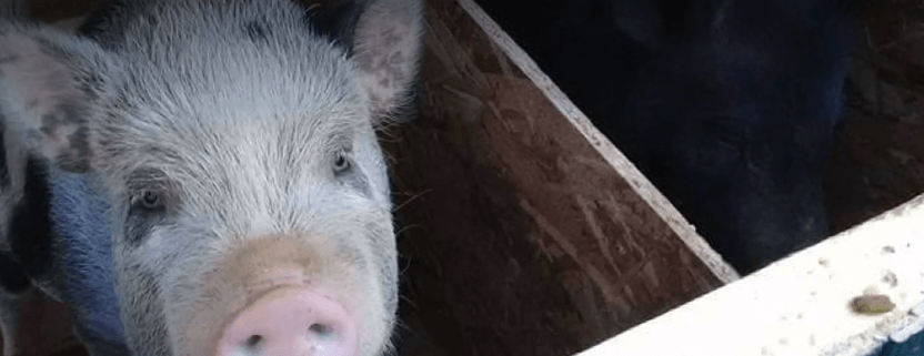 Therapy pigs beaten to death
