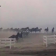 thoroughbreds trying to flee fires