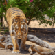 Tiger attack