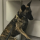 Tragic ending for police K9 Nico