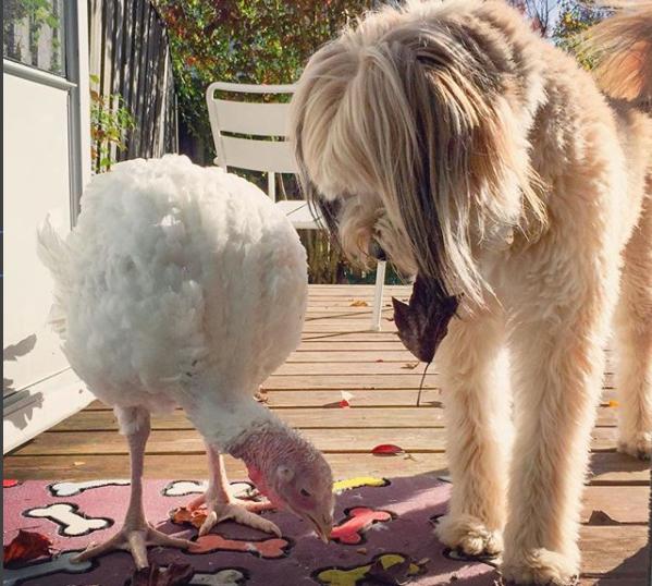 Rescue Dog And Foster Turkey Best Friends