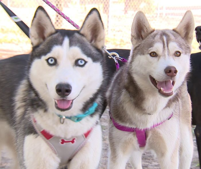Two frightened husky puppies abandoned at Fresno park with