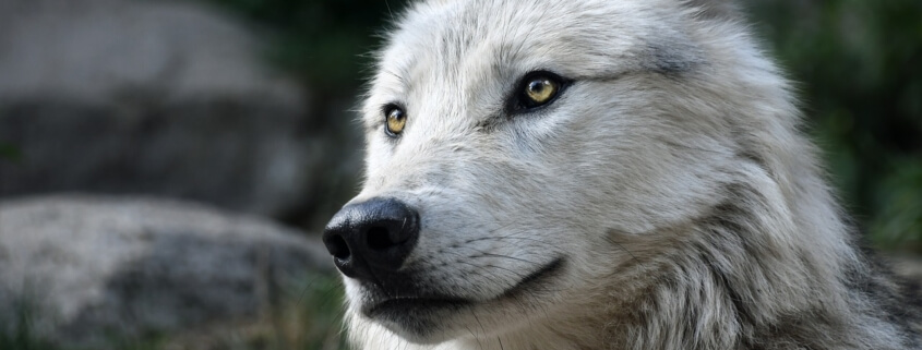 Man killed protected wolves