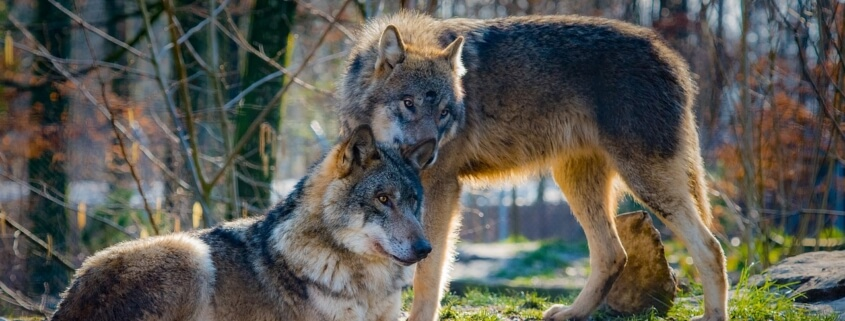 wolves killed in WA