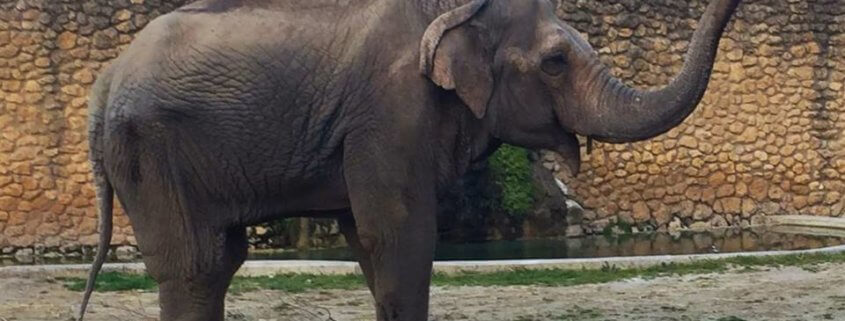 world's saddest elephant has died