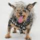 World's ugliest dog winner