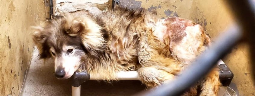 Wound dog with matted fur and maggots found