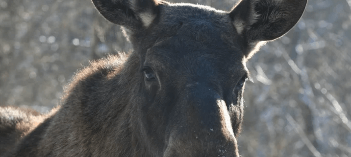 Young moose killed