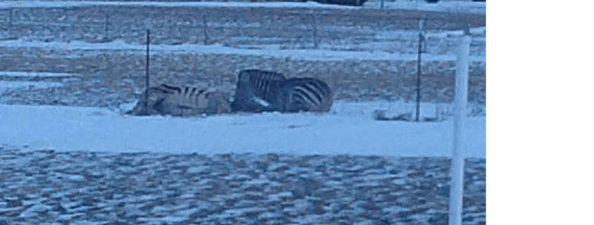 zebra died from the cold